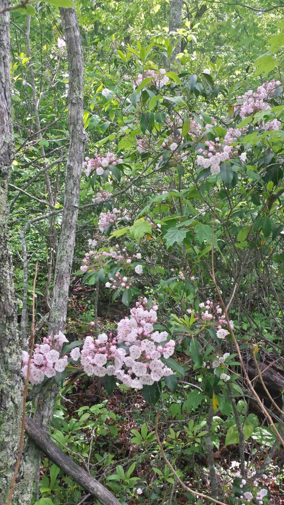 Blooms on Three Forks Spur 5-12-15