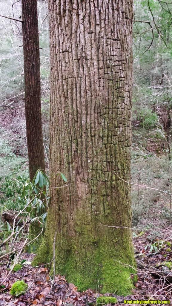Big Tree Inside Rock Creek Gorge 1-10-16